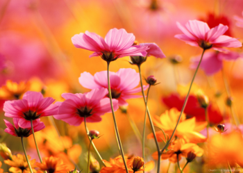 COSMOS GARDEN_PRINTED PICTURE