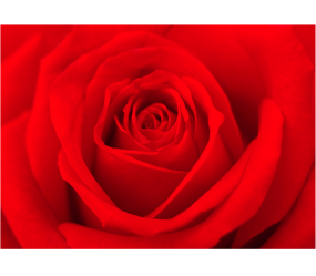 RED ROSE_PRINTED PICTURE (2)